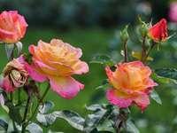 rosas de chá