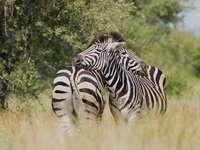 fotografia płytkiej ostrości dwóch przytulających się zebry
