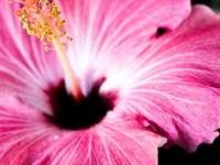 makro snímek fotografie růžového okvětního lístku