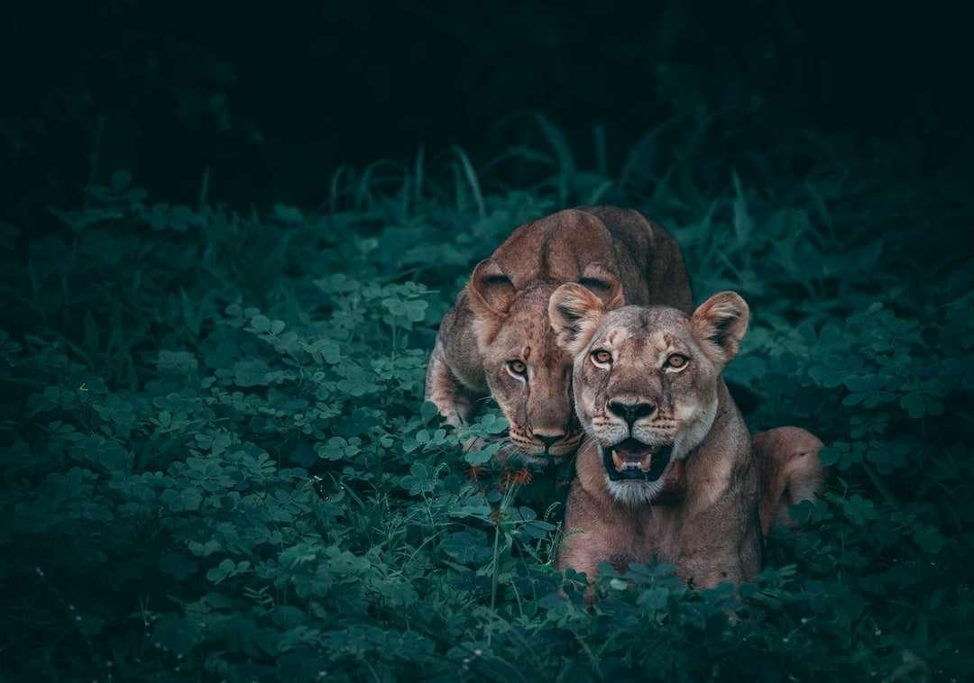 dvě lvice na zelených rostlinách - Matka a její mládě. Národní park Chobe, Botswana (4×3)