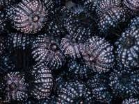 banda černých mořských ježků