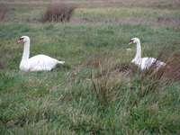 лебеди Charente Maritime
