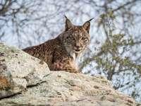 Iberische lynx in Spanje