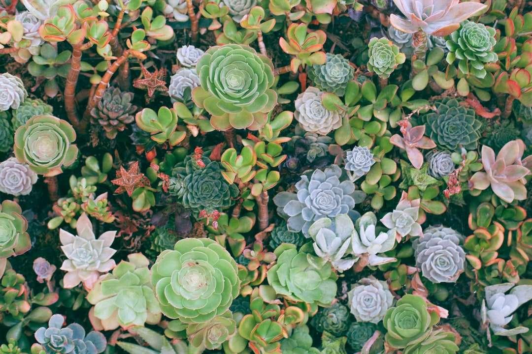 vrcholová fotografie sukulentních rostlin - Oceán sukulentů v Santa Monice. Santa Monica, Spojené státy (15×10)