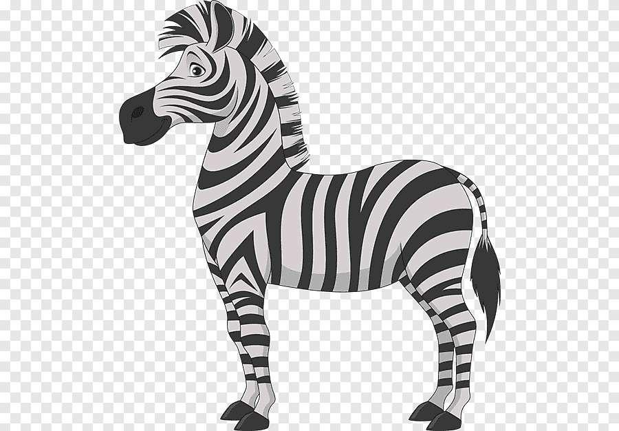 černá a bílá zebra