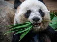 Panda essen Pflanze
