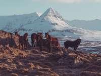 csorda barna ló a jeges hegyen