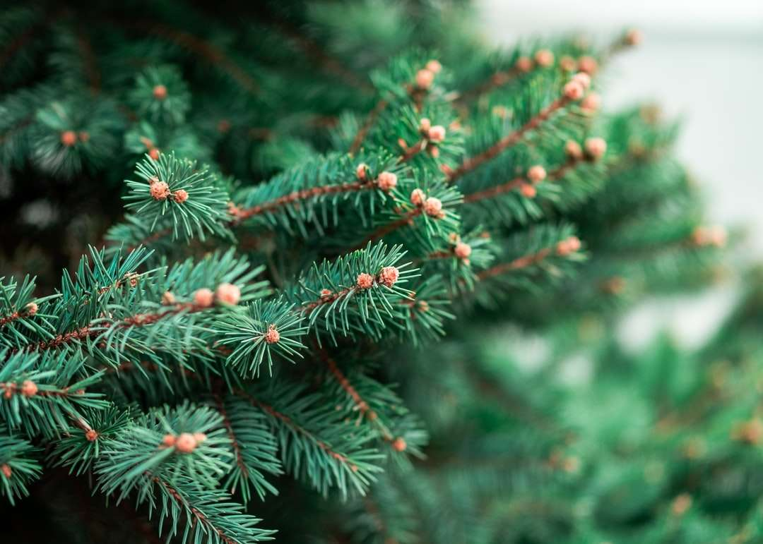 zöld fenyőfa, piros gyümölccsel