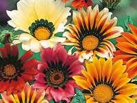 kwiaty gazani