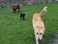 Spaanse Mastiff