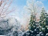 πράσινα πεύκα κατά τη διάρκεια της περιόδου χιονιού