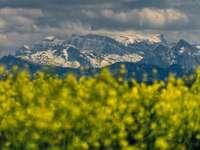 żółte pole kwiatów w pobliżu góry pokryte śniegiem