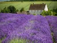 Lavendelfält i Italien