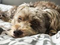 czarno-biały długowłosy mały pies leżący