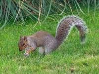 veveriță brună pe iarbă verde în timpul zilei