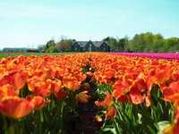 piros-sárga szirommal virágos mező a ház közelében