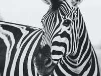 animal zebră