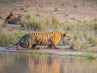 tigre sur l'eau pendant la journée