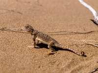 šedá ještěrka na šedé poušti