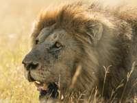 ενήλικο λιοντάρι στο πεδίο γρασίδι