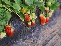 aardbeien plant in pot