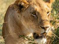 hnědá lvice