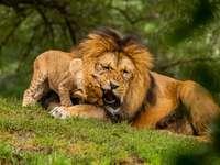 leão e leoa deitados no campo de grama