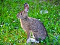 coelho marrom na grama verde durante o dia