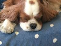 Cavalier King rests