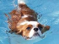 Cavalier King tomando banho