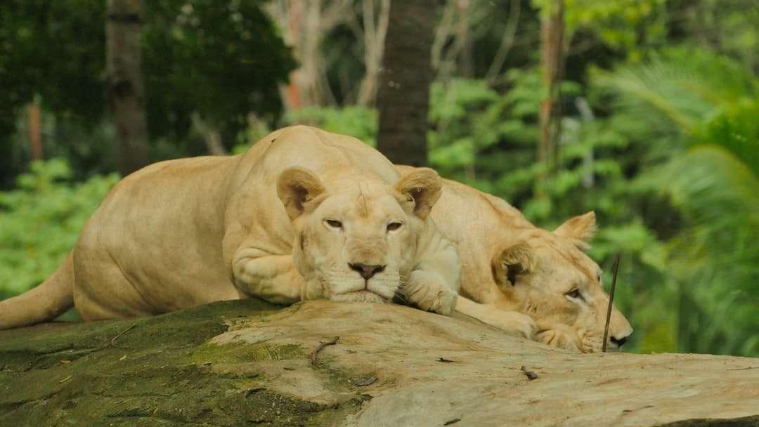 zwei Löwin auf Felsen liegen Puzzle