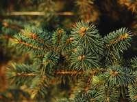 зелен бор в снимка отблизо