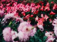 campo de flores vermelho e rosa durante o dia
