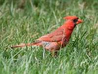 червена кардинална птица върху зелена трева през деня