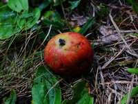 rote Apfelfrucht auf braunen getrockneten Blättern