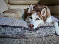 бяло и кафяво сибирско хъски, лежащо върху сив дървен под