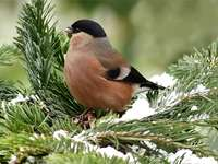 bullfinch on a branch