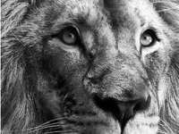 hlava krále divočiny, lva