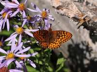 brown and black butterfly on purple and white flower