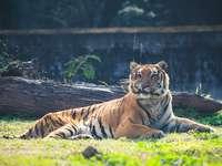 hnědý tygr ležící na zelené trávě během dne