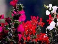 Flores de balcón.