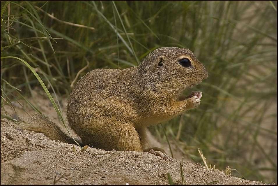 Őrölt mókus