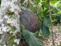 Fruits de Cacaowiec - République dominicaine