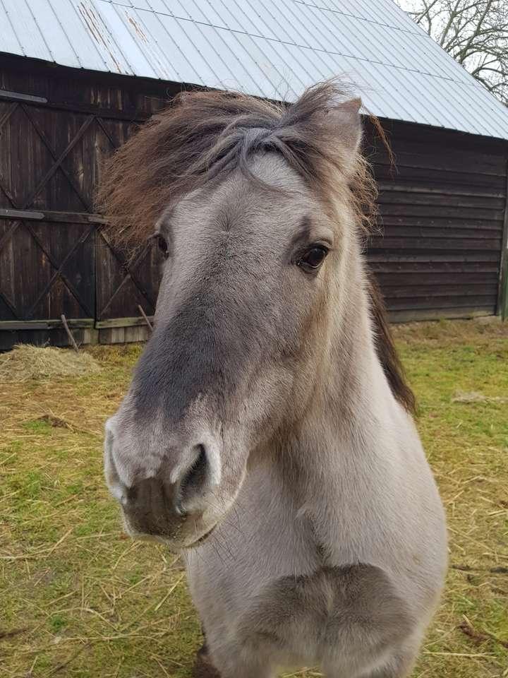 Poni polaco - El caballo polaco ama las manzanas (8×11)