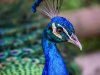 pavone blu nella fotografia ravvicinata