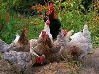 Gallo con i polli.