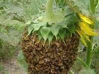 As incríveis abelhas