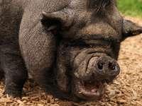 Cerdo divertido