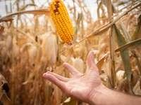 gelber Mais in der Mitte des Feldes