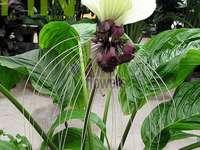 flor - murciélago blanco